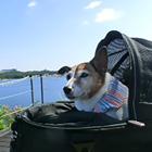 POPちゃん 5.2キロ ジャックラッセルテリア